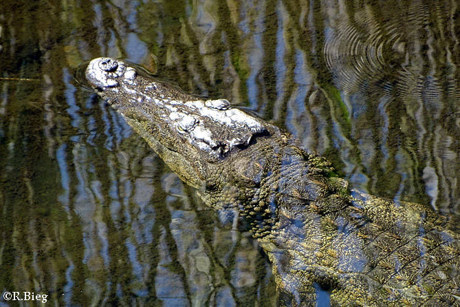 Crocodylus niloticus - Nilkrokodil
