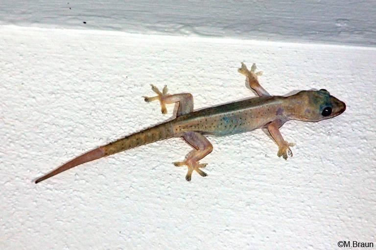 Gecko unbest.