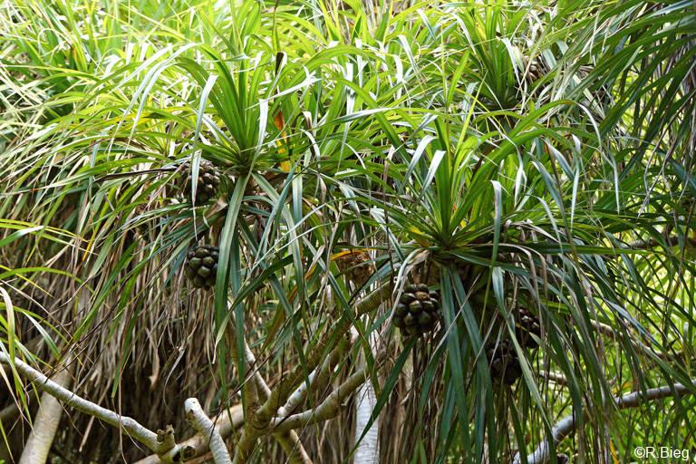 Schraubenbäume im Grande Montagne Nature Reserve - Pandanus