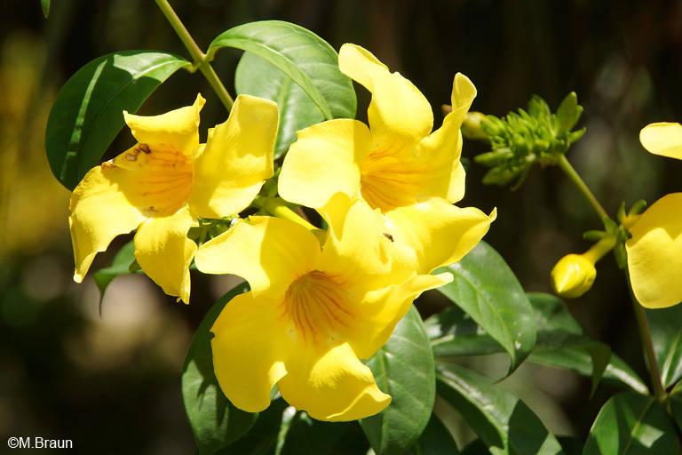 Blüten eines Trompetenbaumes