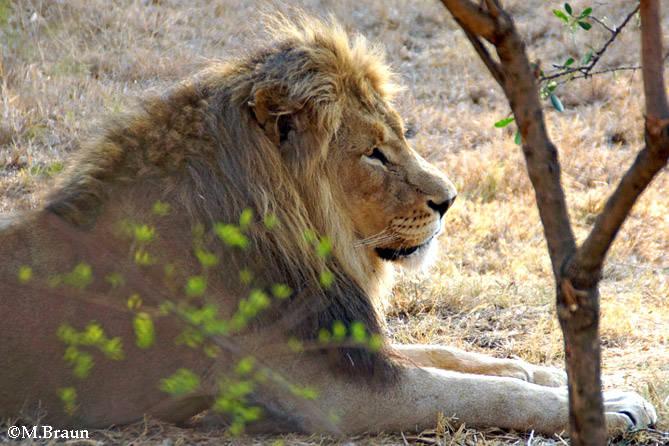 Panthera leo - er jagt nachts und in den frühen Morgenstunden