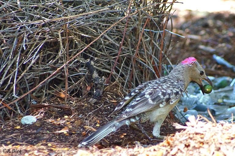 Graulaubenvogel - Chlamydera muchalis