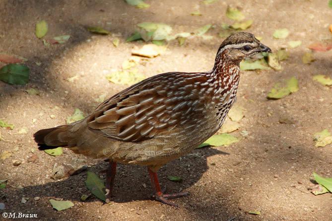 Schopffrankolin - Francolinus s. sephaena - Frankoline gehören zur Familie der Fasanenartigen