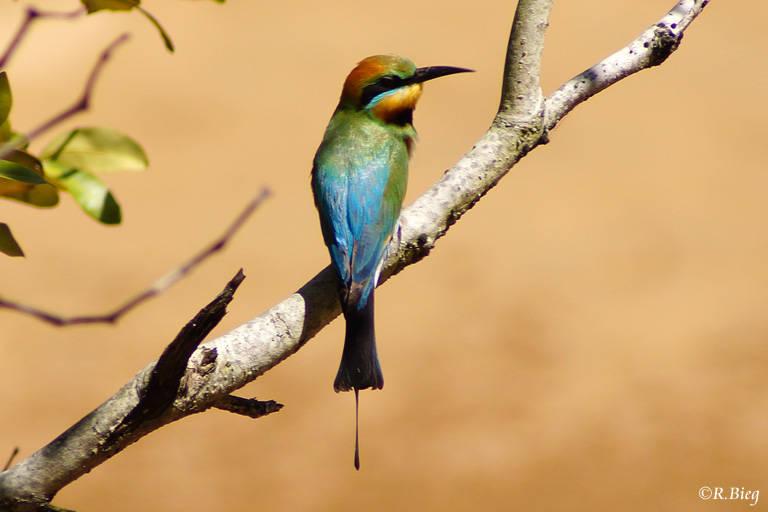 Regenbogenspint - Merops ornatus