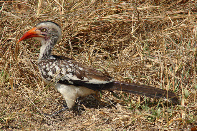 Rotschnabeltoko - Tockus erythrorhynchus - er gehört zu den Nashornvögeln