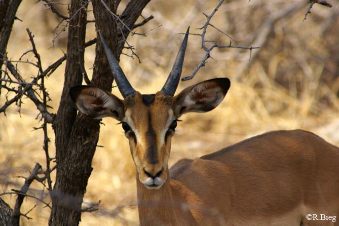 Schwarzgesichts-Impala