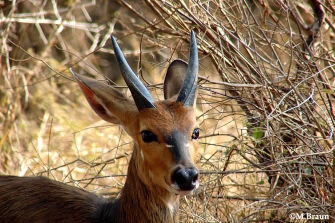 Buschbock - sie leben oft als Einzelgänger