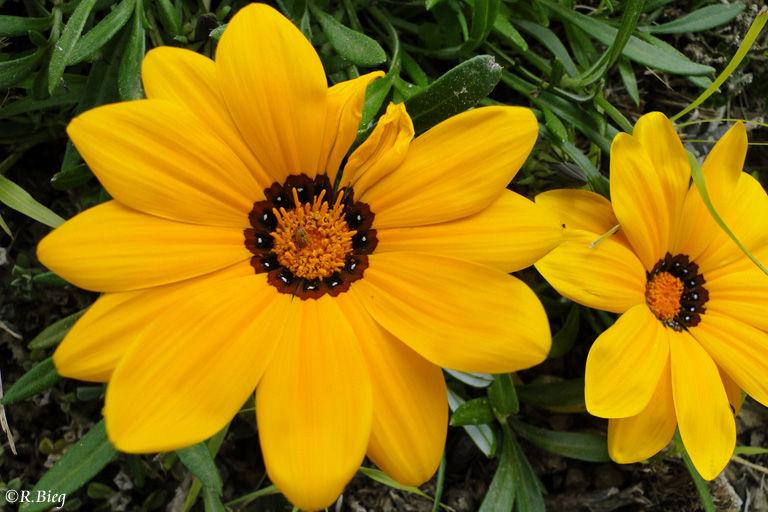 Gazania - Asteraceae