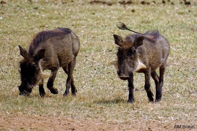 Warzenschweine - Phacochoerus africanus