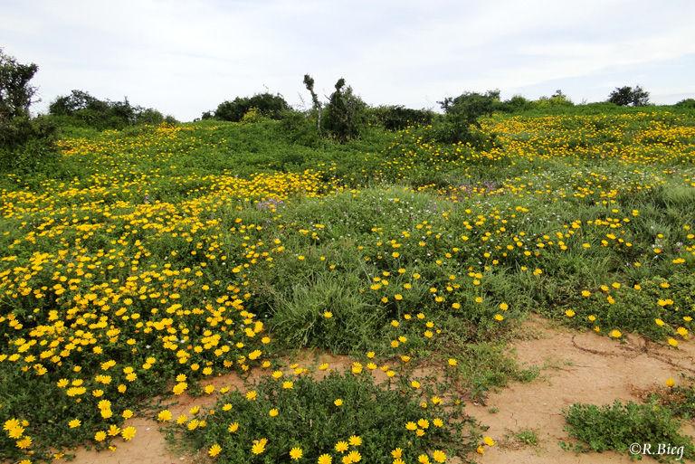 Blühende Wiesen im Addo Elephant Park