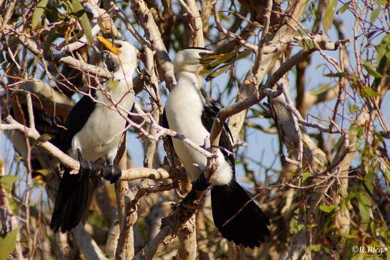 Australische Zwergscharbe - Phalacrocorax melanoleucos