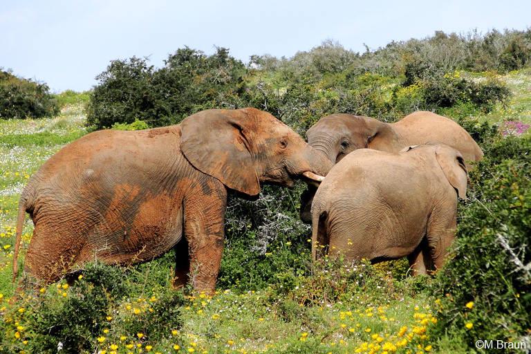 Der Addo NP wurde ursprünglich zum Schutz der Elefanten eingerichtet