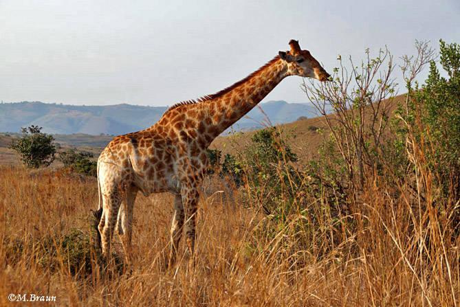 Giraffa camelopardis