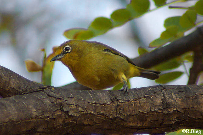 Zosterops pallidus caniviridis - Kapbrillenvogel