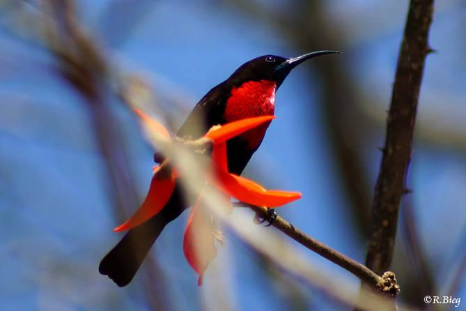 Rotbrustnektarvogel - Chalcomitra senegalensis gutturalis