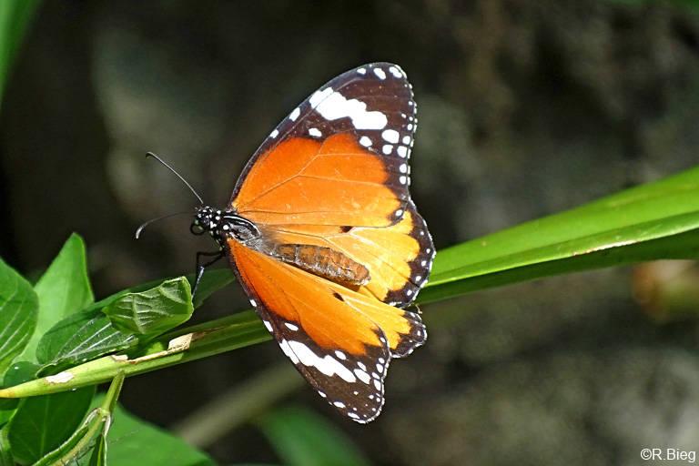 Kleiner Monarch - Danaus chrysippus - er ist sehr weit verbreitet