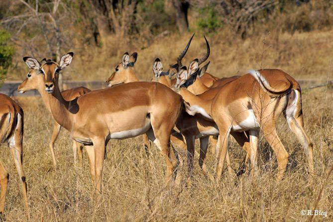 Impala - Aepyceros m. melampus - Weibchen und Jungtiere leben in Herden