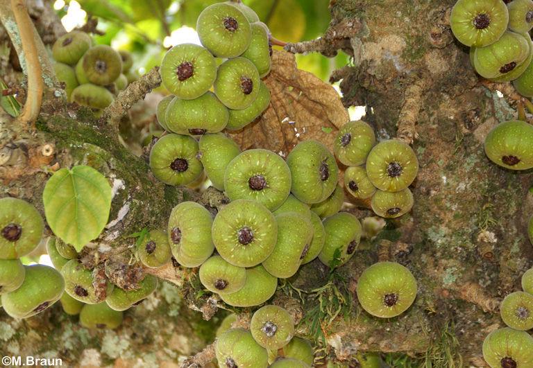 Ficus - diese Feigen kann man nicht essen