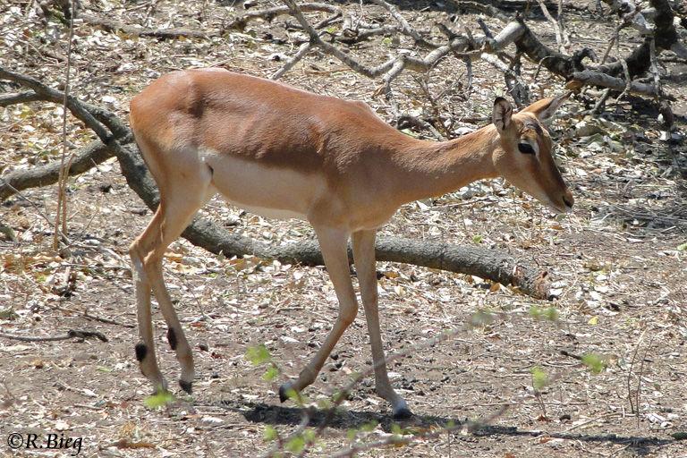 Impala im Marloth Park