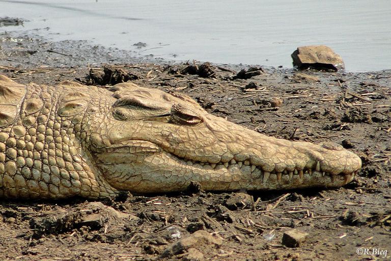 An der Sunset-Wasserstelle - Nilkrokodile gehören zu den größten Krokodilen weltweit, werden bis zu 6 m lang