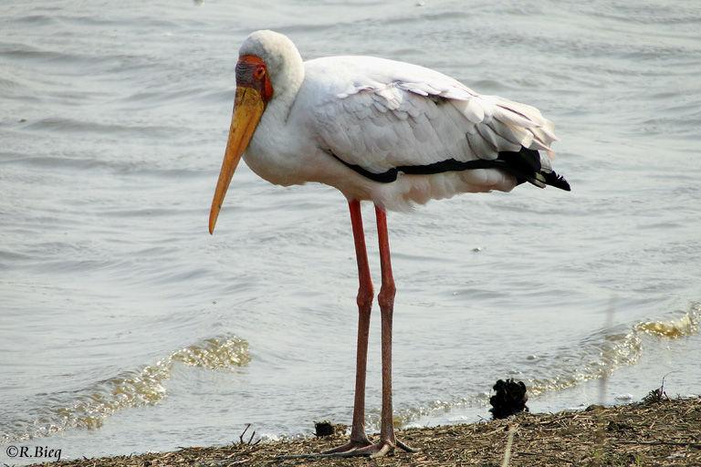 Nimmersatt - Mycteria ibis