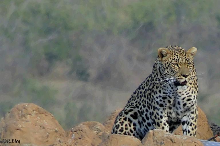 Leopard - Panthera pardus - auf einem Felsen an der H4-2