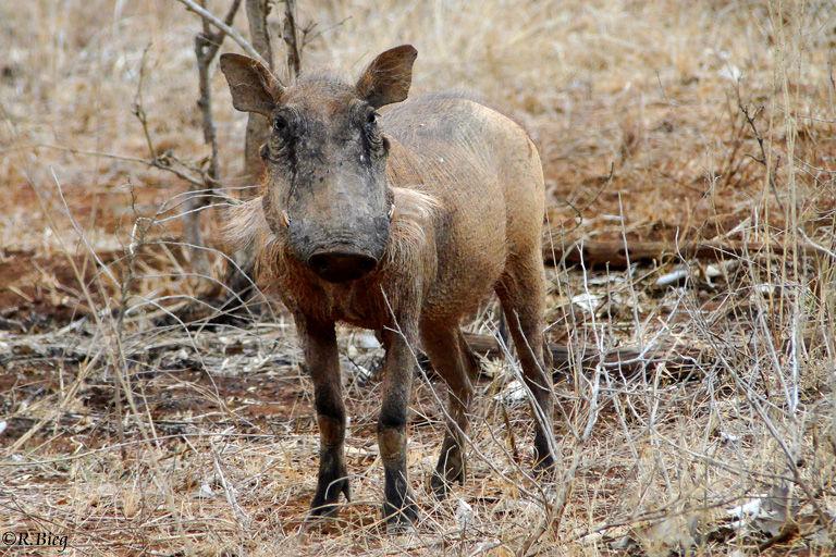 Warzenschwein - Potamochoerus aethiopicus