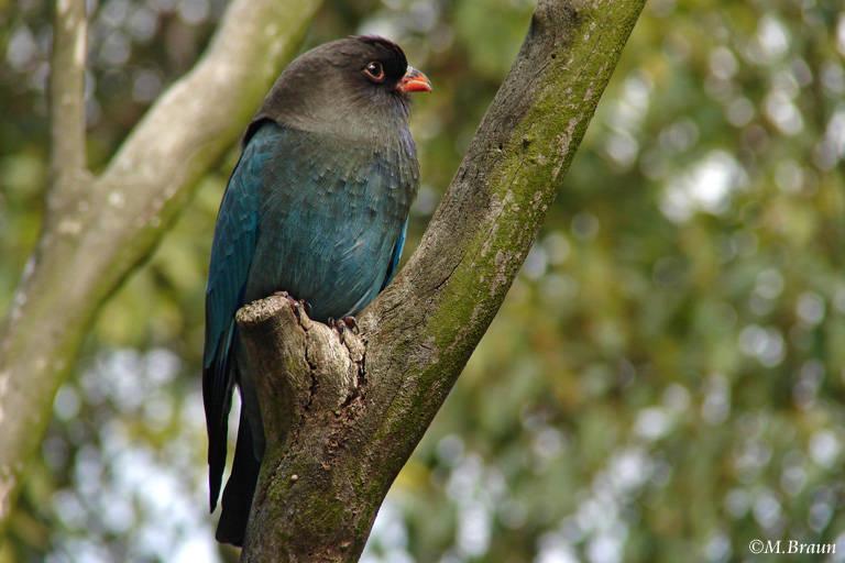 Dollarvogel - Eurystomus orientalis
