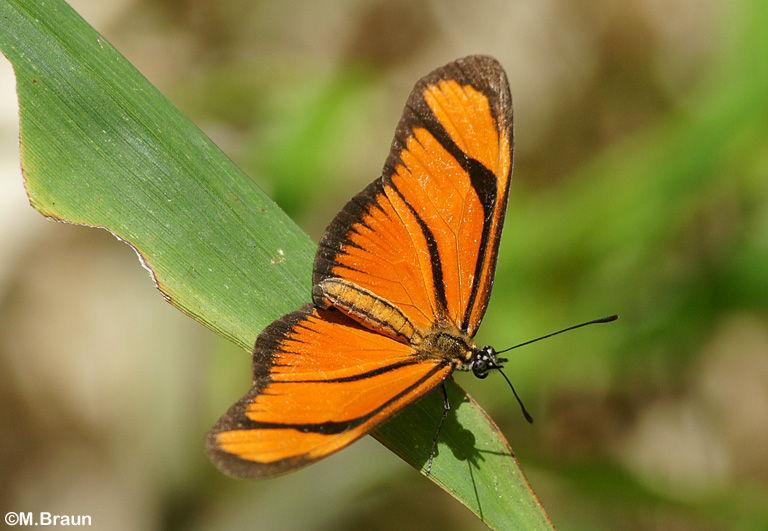 Dryas iulia - ein Heliconidae