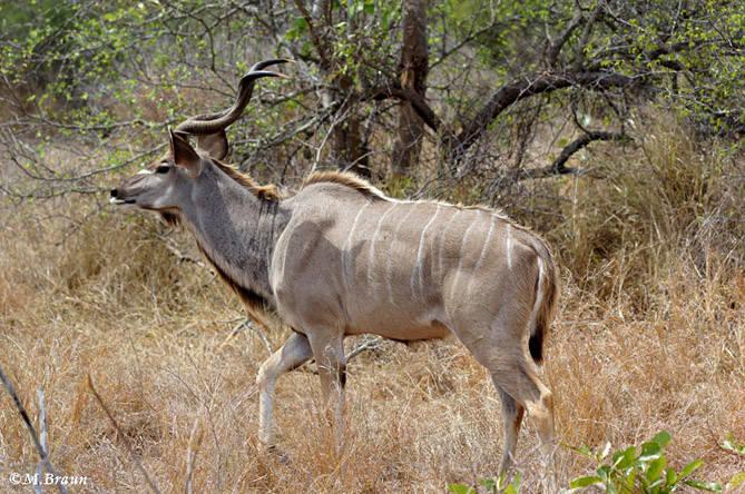 Grosser Kudu - die Männchen sind größer und können 250 bis 350 kg schwer werden