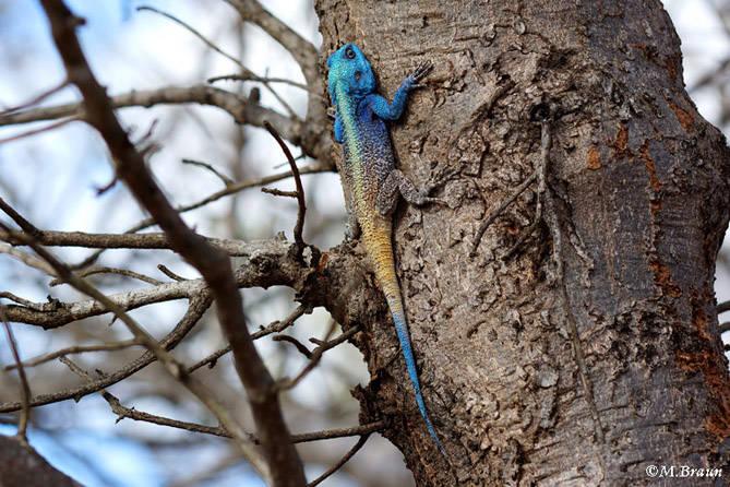 Blaukehlagame - Acanthocercus atricollis - ihre Hauptnahrung sind Insekten
