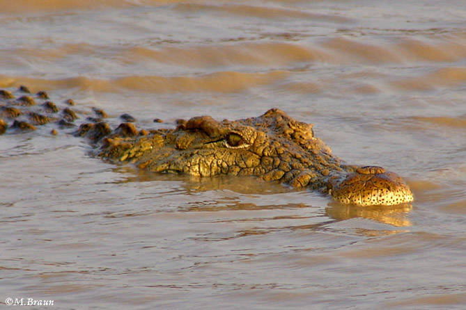 Krokodil am Wasserloch