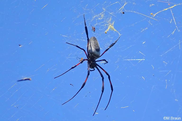 Radnetzspinnen bauen ihre großen Netze zwischen den Bäumen