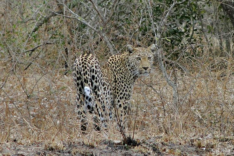 Leopard - an der S 110 nahe Berg-en Dal