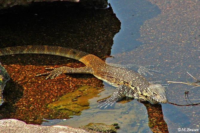 Nilwaran - Varanus niloticus - ein hervorragender Schwimmer