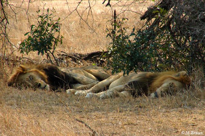 Afrikanischer Löwe - Panthera leo - am Tag sieht man sie oft ruhend