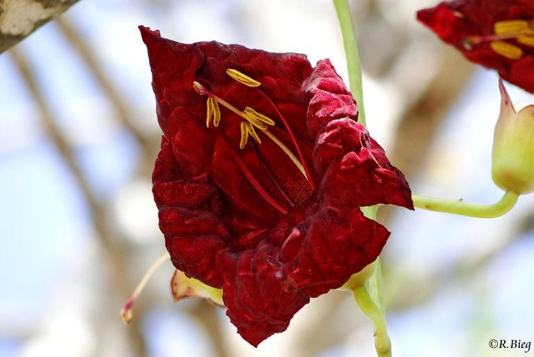 Die Blüte des Leberwurstbaumes - Kigelia africana