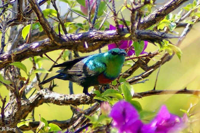 Cinnyris mariquensis - Bindennektarvogel