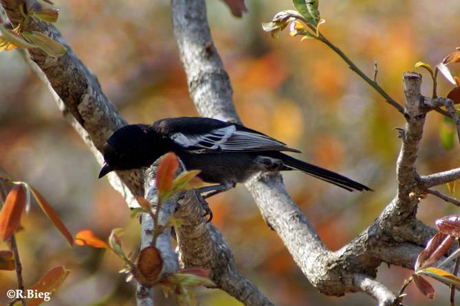Mohrenmeise - Parus n. niger