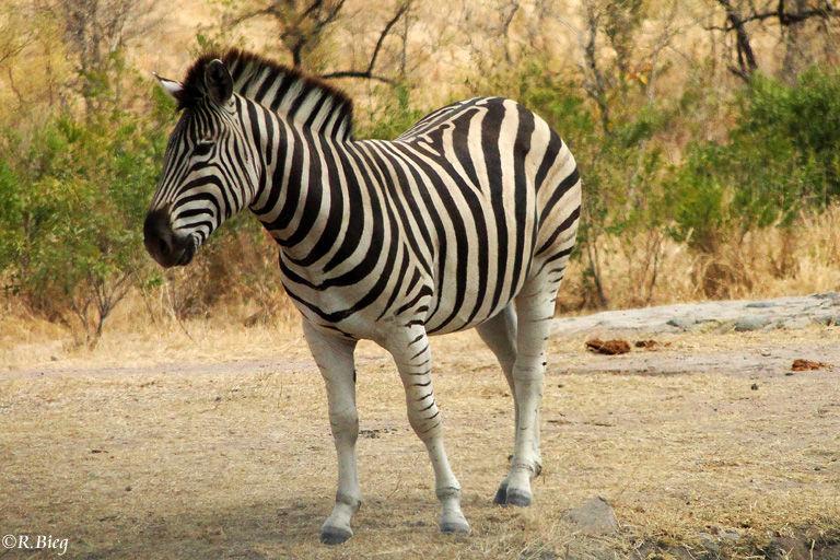 Steppenzebra - Equus burchelli - werden mehr als 200 kg schwer