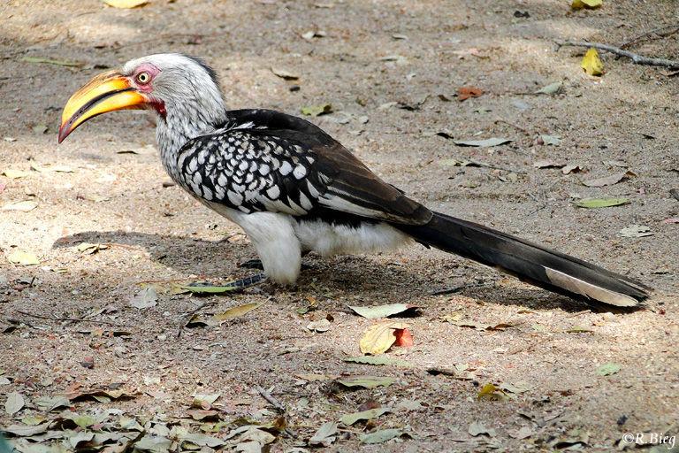 Südlicher Gelbschnabeltoko - Tockus leucomelas - ein Buschlandbewohner