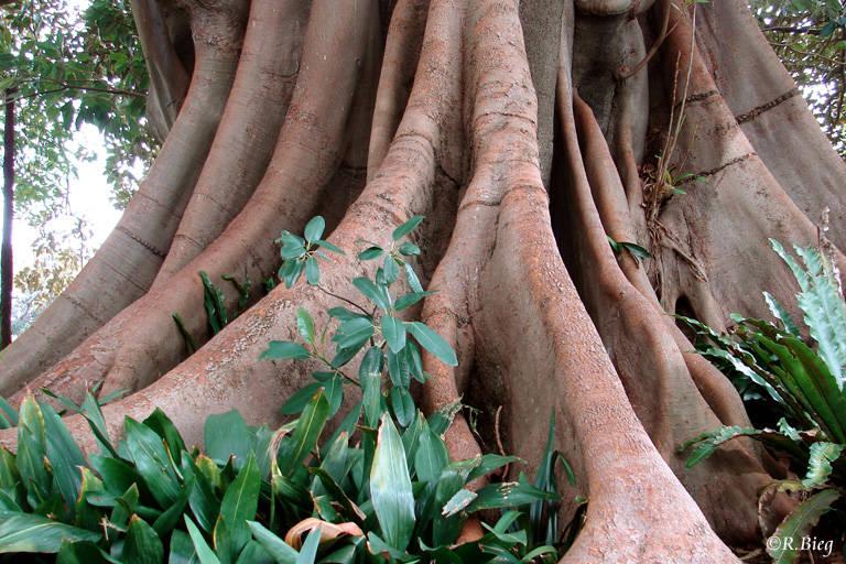 Urwaldriese im Regenwald der Tablelands