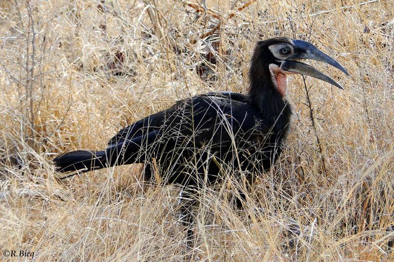 Kaffernhornrabe -Bucorvus leadbeateri, juvenil - auch Südlicher Hornrabe genannt