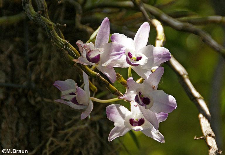 eine unbest. Orchidee