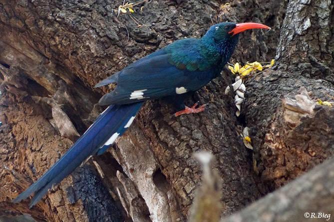 Baumhopf - Phoeniculus p. purpureus - er sucht oft Nahrung an Baumstümpfen