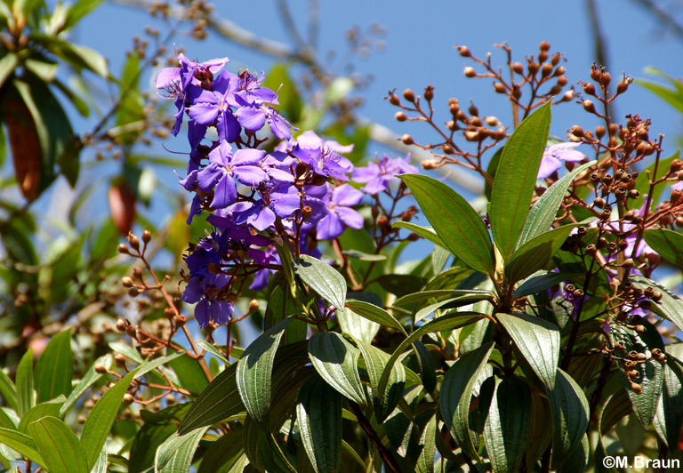 Tibouchina spec. - Melastomataceae