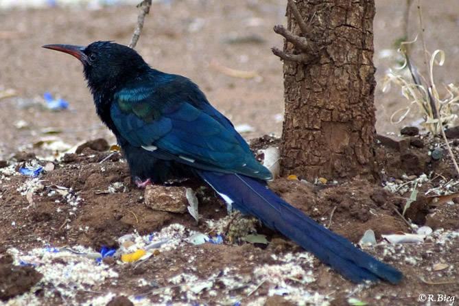 Baumhopf - Phoeniculus p. purpureus - die Jungvögel haben eine schwarzen Schnabel
