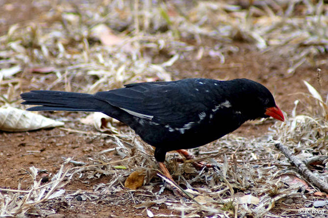 Büffelweber - Bubalornis n. niger - ein großer Webervogel, der riesige Gemeinschaftsnester baut