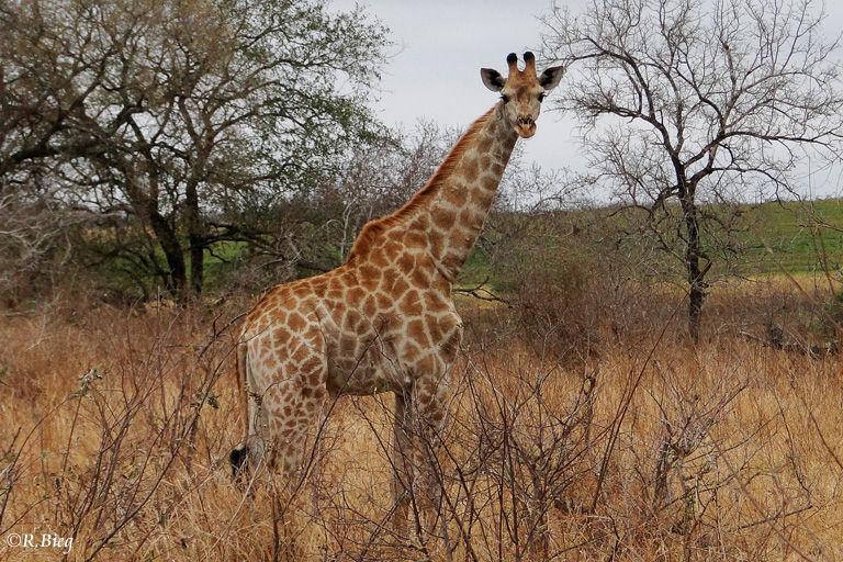 Giraffe - Bullen werden bis zu 6 m hoch