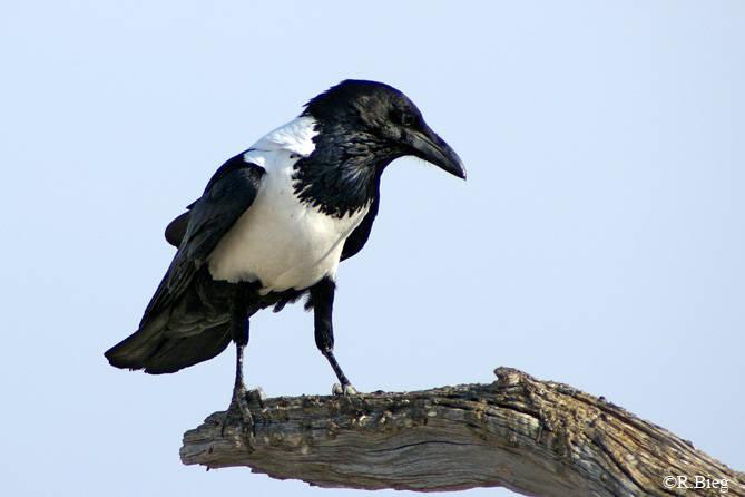 Schildrabe - Corvus albus